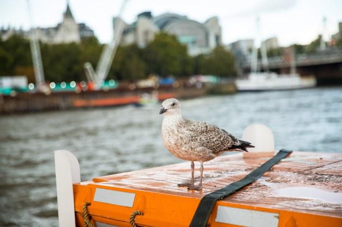 British sea bird